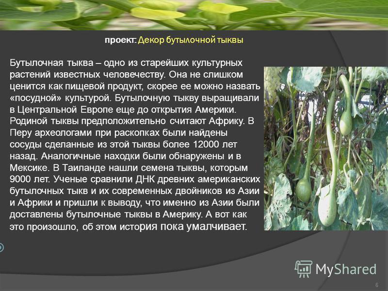 проект: Декор бутылочной тыквы Бутылочная тыква – одно из старейших культурных растений известных человечеству. Она не слишком ценится как пищевой продукт, скорее ее можно назвать «посудной» культурой. Бутылочную тыкву выращивали в Центральной Европе