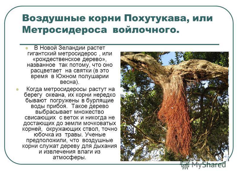 Воздушные корни Похутукава, или Метросидероса войлочного. В Новой Зеландии растет гигантский метросидерос, или «рождественское дерево», названное так потому, что оно расцветает на святки (в это время в Южном полушарии весна). Когда метросидеросы раст