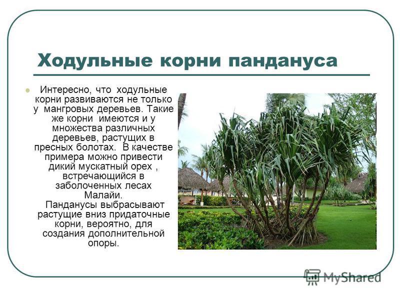 Ходульные корни пандануса Интересно, что ходульные корни развиваются не только у мангровых деревьев. Такие же корни имеются и у множества различных деревьев, растущих в пресных болотах. В качестве примера можно привести дикий мускатный орех, встречаю