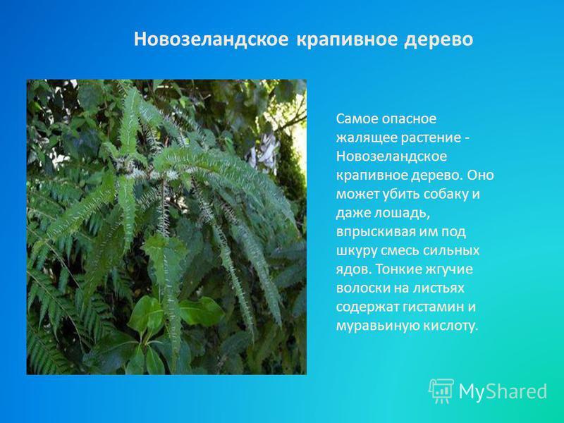 Самое опасное жалящее растение - Новозеландское крапивное дерево. Оно может убить собаку и даже лошадь, впрыскивая им под шкуру смесь сильных ядов. Тонкие жгучие волоски на листьях содержат гистамин и муравьиную кислоту. Новозеландское крапивное дере