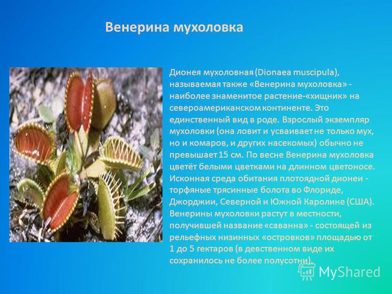 Дионея мухоловная (Dionaea muscipula), называемая также «Венерина мухоловка» - наиболее знаменитое растение-«хищник» на североамериканском континенте. Это единственный вид в роде. Взрослый экземпляр мухоловки (она ловит и усваивает не только мух, но