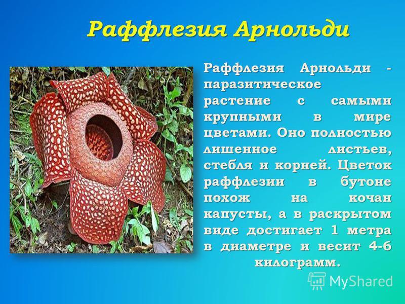 Раффлезия Арнольди Раффлезия Арнольди - паразитическое растение с самыми крупными в мире цветами. Оно полностью лишенное листьев, стебля и корней. Цветок раффлезии в бутоне похож на кочан капусты, а в раскрытом виде достигает 1 метра в диаметре и вес