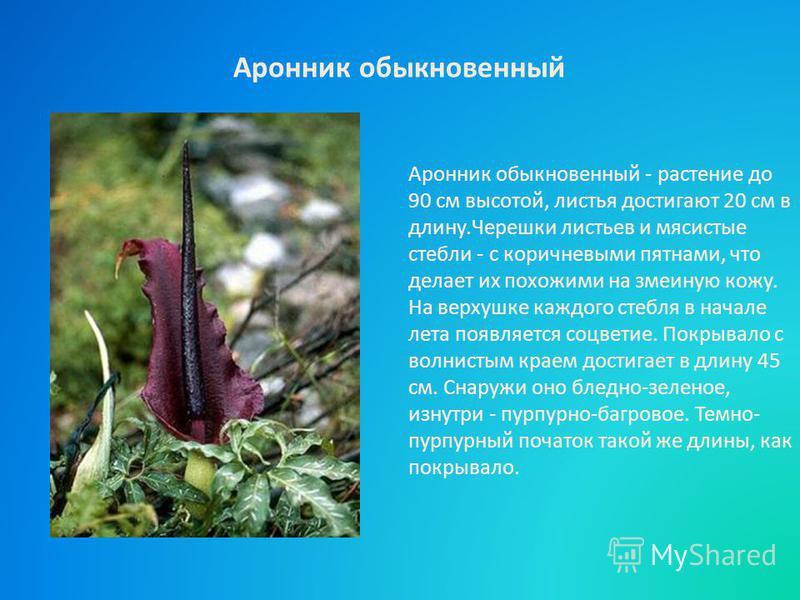 Аронник обыкновенный - растение до 90 см высотой, листья достигают 20 см в длину.Черешки листьев и мясистые стебли - с коричневыми пятнами, что делает их похожими на змеиную кожу. На верхушке каждого стебля в начале лета появляется соцветие. Покрывал