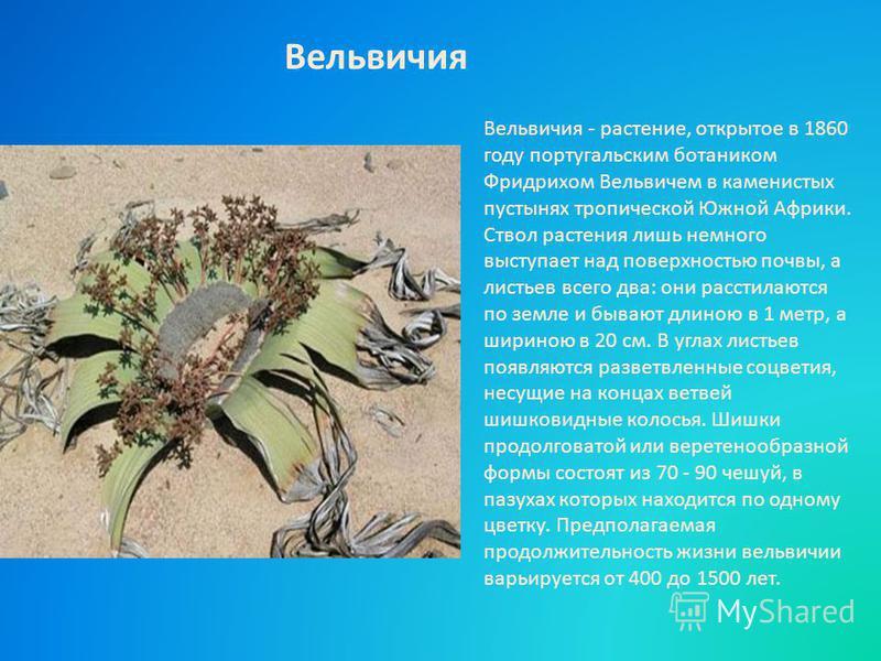 Вельвичия - растение, открытое в 1860 году португальским ботаником Фридрихом Вельвичем в каменистых пустынях тропической Южной Африки. Ствол растения лишь немного выступает над поверхностью почвы, а листьев всего два: они расстилаются по земле и быва