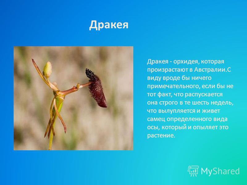 Дракея - орхидея, которая произрастают в Австралии.С виду вроде бы ничего примечательного, если бы не тот факт, что распускается она строго в те шесть недель, что вылупляется и живет самец определенного вида осы, который и опыляет это растение. Драке