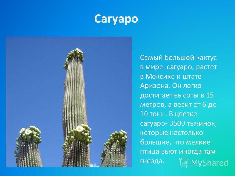 Самый большой кактус в мире, сагуаро, растет в Мексике и штате Аризона. Он легко достигает высоты в 15 метров, а весит от 6 до 10 тонн. В цветке сагуаро- 3500 тычинок, которые настолько большие, что мелкие птица вьют иногда там гнезда. Сагуаро