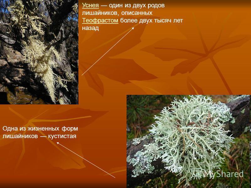 Уснея Уснея один из двух родов лишайников, описанных Теофрастом более двух тысяч лет назад Теофрастом Одна из жизненных форм лишайников кустистая