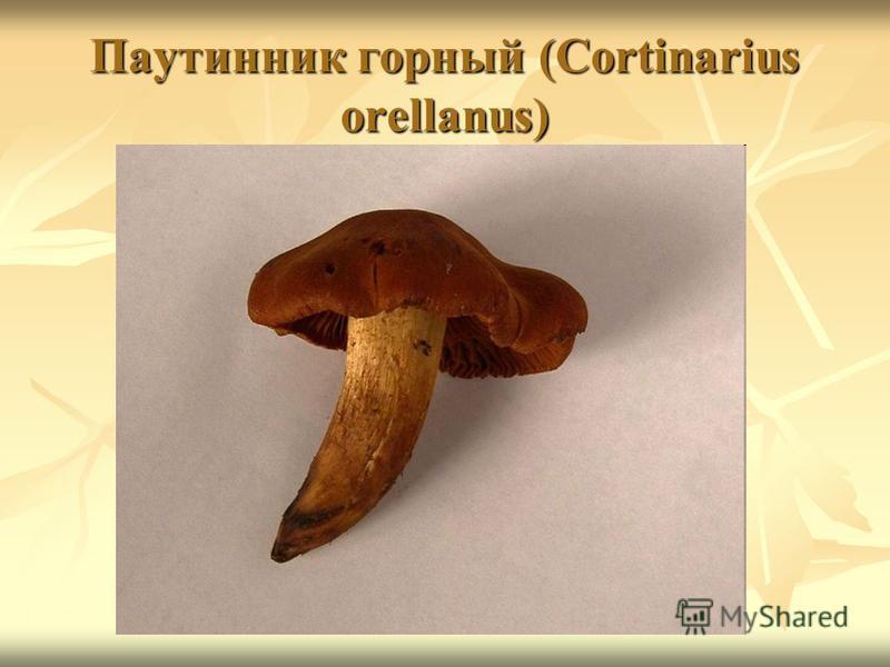 Паутинник горный (Cortinarius orellanus)
