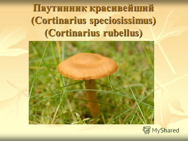 Паутинник красивейший (Cortinarius speciosissimus) (Cortinarius rubellus)