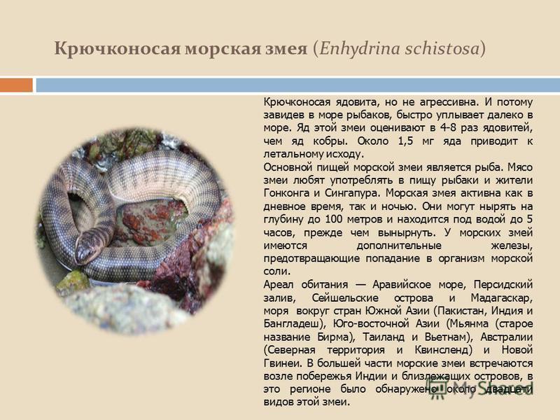 Крючконосая морская змея (Enhydrina schistosa) Крючконосая ядовита, но не агрессивна. И потому завидев в море рыбаков, быстро уплывает далеко в море. Яд этой змеи оценивают в 4-8 раз ядовитей, чем яд кобры. Около 1,5 мг яда приводит к летальному исхо