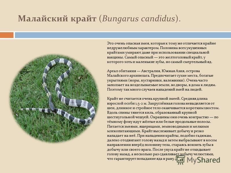 Малайский крайт (Bungarus candidus). Это очень опасная змея, которая к тому же отличается крайне недружелюбным характером. Половина всех укушенных крайтами умирают даже при использовании специальной вакцины. Самый опасный это желтоголовый крайт, у ко