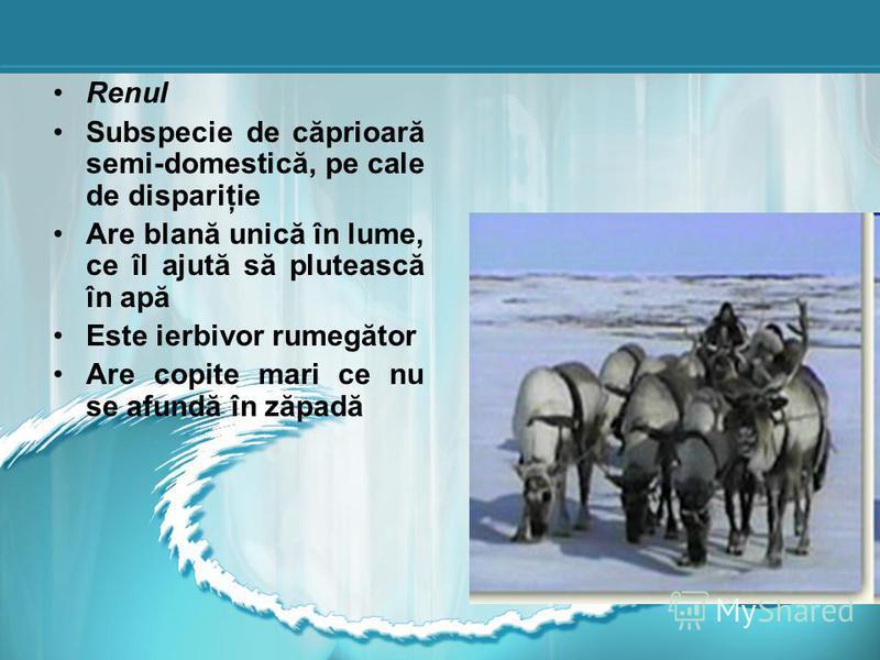 Renul Subspecie de căprioară semi-domestică, pe cale de dispariţie Are blană unică în lume, ce îl ajută să plutească în apă Este ierbivor rumegător Are copite mari ce nu se afundă în zăpadă