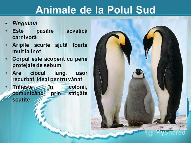 Animale de la Polul Sud Pinguinul Este pasăre acvatică carnivoră Aripile scurte ajută foarte mult la înot Corpul este acoperit cu pene protejate de sebum Are ciocul lung, uşor recurbat, ideal pentru vânat Trăieşte în colonii, comunicând prin strigăte