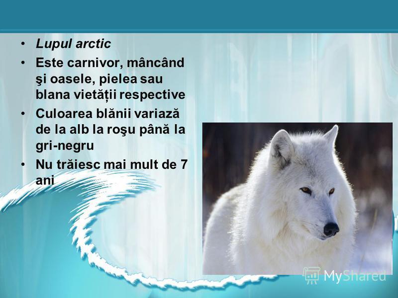 Lupul arctic Este carnivor, mâncând şi oasele, pielea sau blana vietăţii respective Culoarea blănii variază de la alb la roşu până la gri-negru Nu trăiesc mai mult de 7 ani