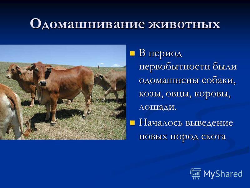 Одомашнивание животных В период первобытности были одомашнены собаки, козы, овцы, коровы, лошади. В период первобытности были одомашнены собаки, козы, овцы, коровы, лошади. Началось выведение новых пород скота Началось выведение новых пород скота