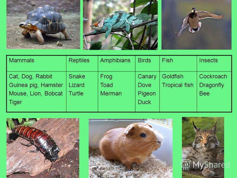 MammalsReptilesAmphibiansBirdsFishInsects Cat, Dog, Rabbit Guinea pig, Hamster Mouse, Lion, Bobcat Tiger Snake Lizard Turtle Frog Toad Merman Canary Dove Pigeon Duck Goldfish Tropical fish Cockroach Dragonfly Bee