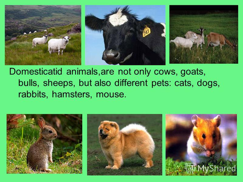 Domesticatid animals,are not only cows, goats, bulls, sheeps, but also different pets: cats, dogs, rabbits, hamsters, mouse.