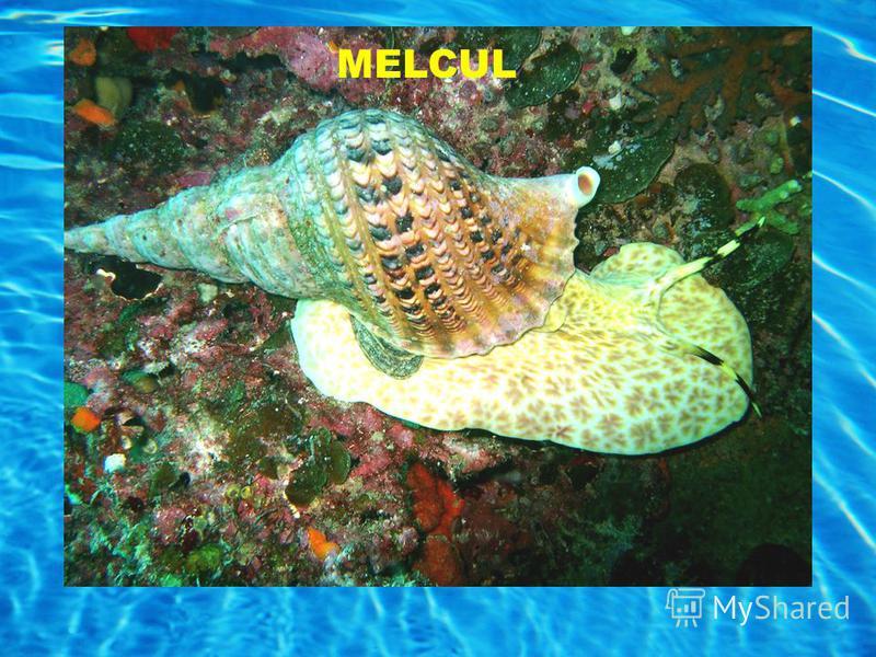 MELCUL