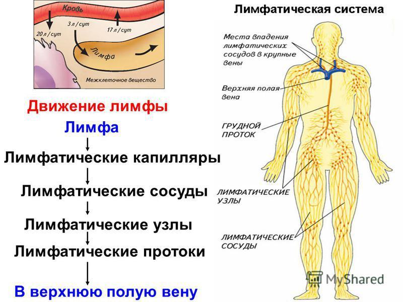 Лимфатические капилляры Лимфатические сосуды Лимфатические узлы Лимфатические протоки Лимфа В верхнюю полую вену Движение лимфы
