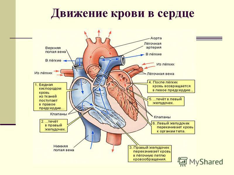 Движение крови в сердце