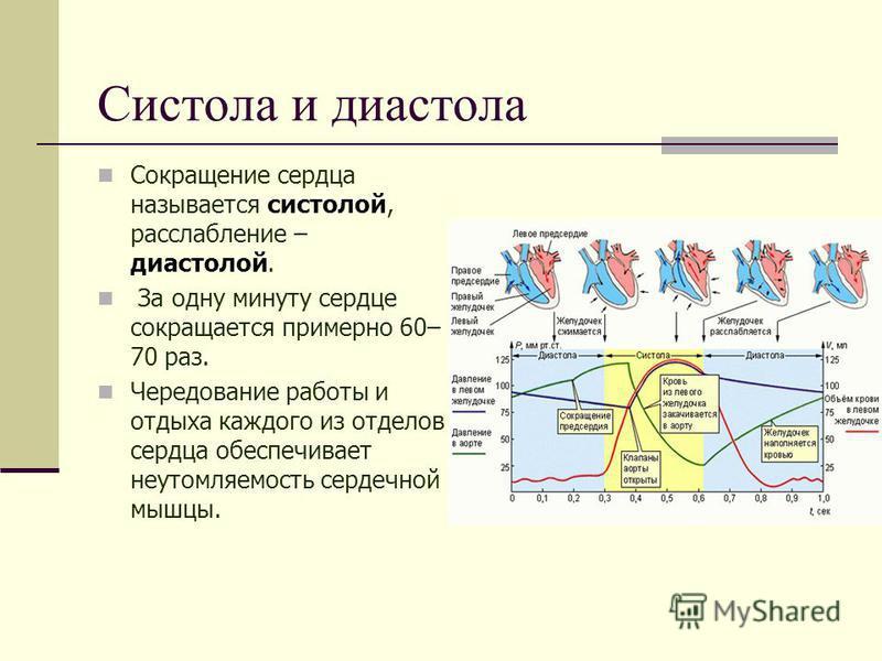 Систола и диастола Сокращение сердца называется систолой, расслабление – диастолой. За одну минуту сердце сокращается примерно 60– 70 раз. Чередование работы и отдыха каждого из отделов сердца обеспечивает не утомляемость сердечной мышцы.