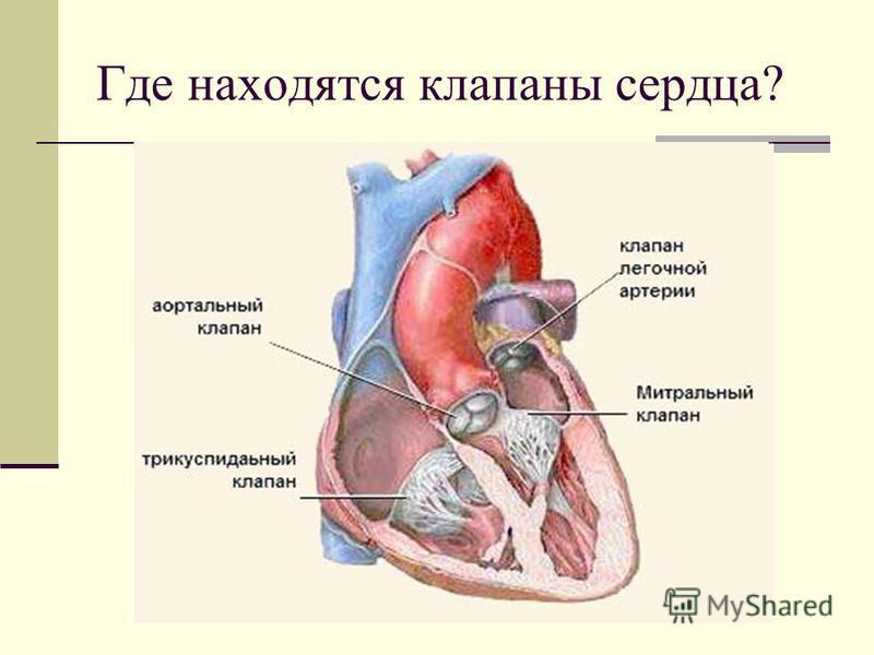 Где находятся клапаны сердца?