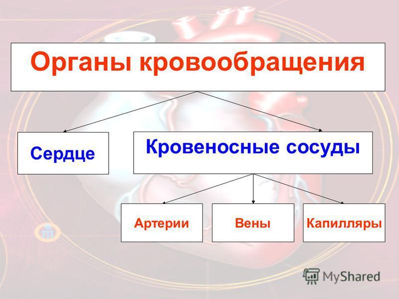 Органы кровообращения Сердце Кровеносные сосуды Артерии ВеныКапилляры
