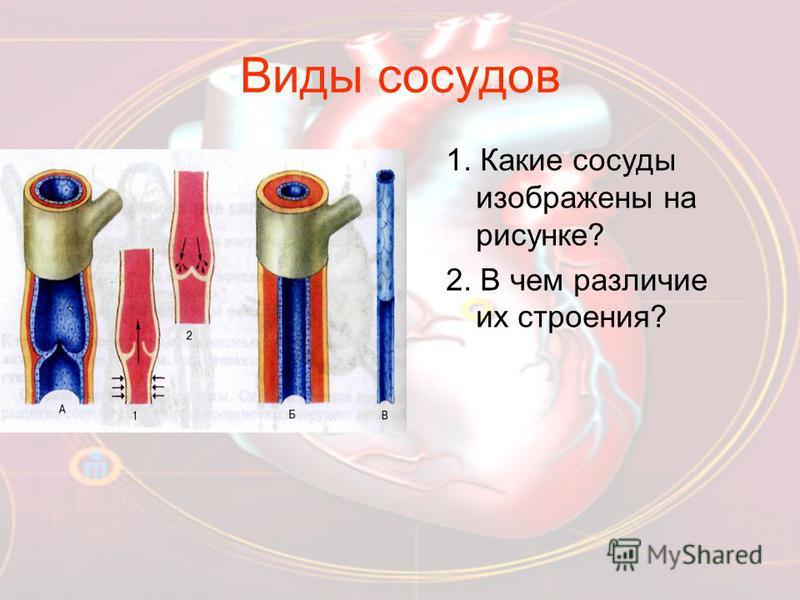 Виды сосудов 1. Какие сосуды изображены на рисунке? 2. В чем различие их строения?