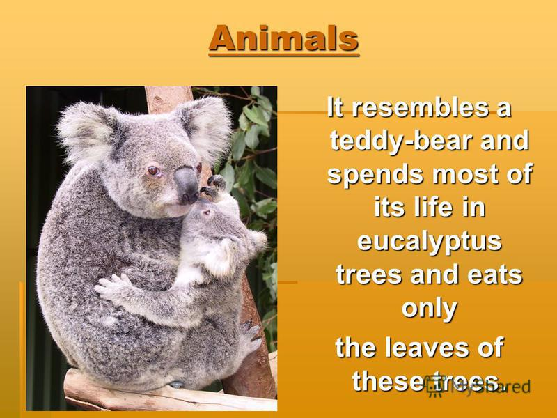 Animals It resembles a teddy-bear and spends most of its life in eucalyptus trees and eats only the leaves of these trees.