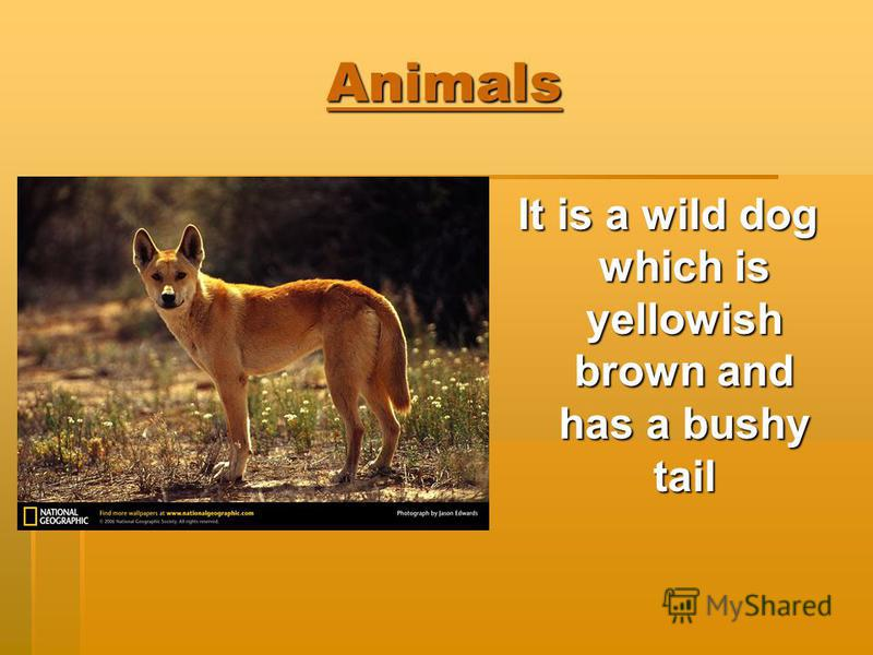 Animals It is a wild dog which is yellowish brown and has a bushy tail