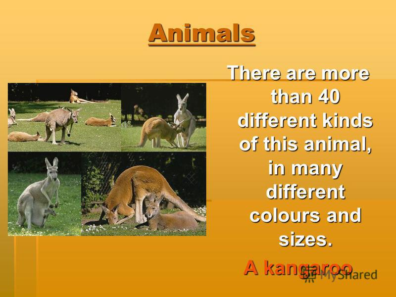 Animals There are more than 40 different kinds of this animal, in many different colours and sizes. A kangaroo