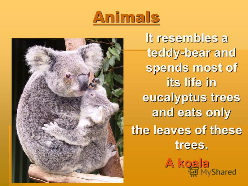Animals It resembles a teddy-bear and spends most of its life in eucalyptus trees and eats only the leaves of these trees. A koala