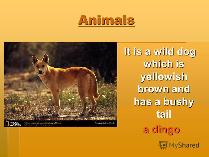 Animals It is a wild dog which is yellowish brown and has a bushy tail a dingo a dingo