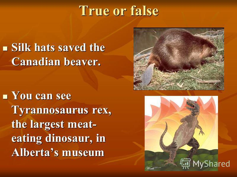 True or false Silk hats saved the Canadian beaver. Silk hats saved the Canadian beaver. You can see Tyrannosaurus rex, the largest meat- eating dinosaur, in Albertas museum You can see Tyrannosaurus rex, the largest meat- eating dinosaur, in Albertas