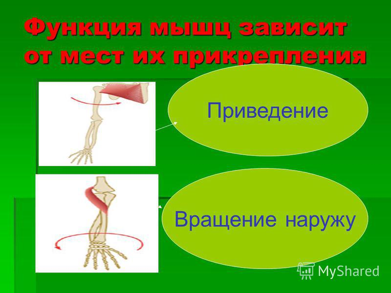 Функция мышц зависит от мест их прикрепления Приведение Вращение наружу