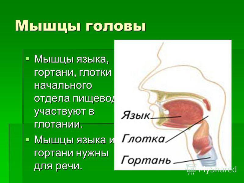 Мышцы головы Мышцы языка, гортани, глотки и начального отдела пищевода участвуют в глотании. Мышцы языка, гортани, глотки и начального отдела пищевода участвуют в глотании. Мышцы языка и гортани нужны для речи. Мышцы языка и гортани нужны для речи.