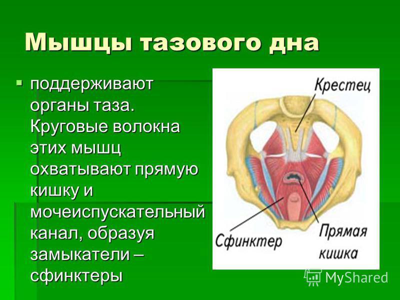 Мышцы тазового дна поддерживают органы таза. Круговые волокна этих мышц охватывают прямую кишку и мочеиспускательный канал, образуя замыкатели – сфинктеры поддерживают органы таза. Круговые волокна этих мышц охватывают прямую кишку и мочеиспускательн