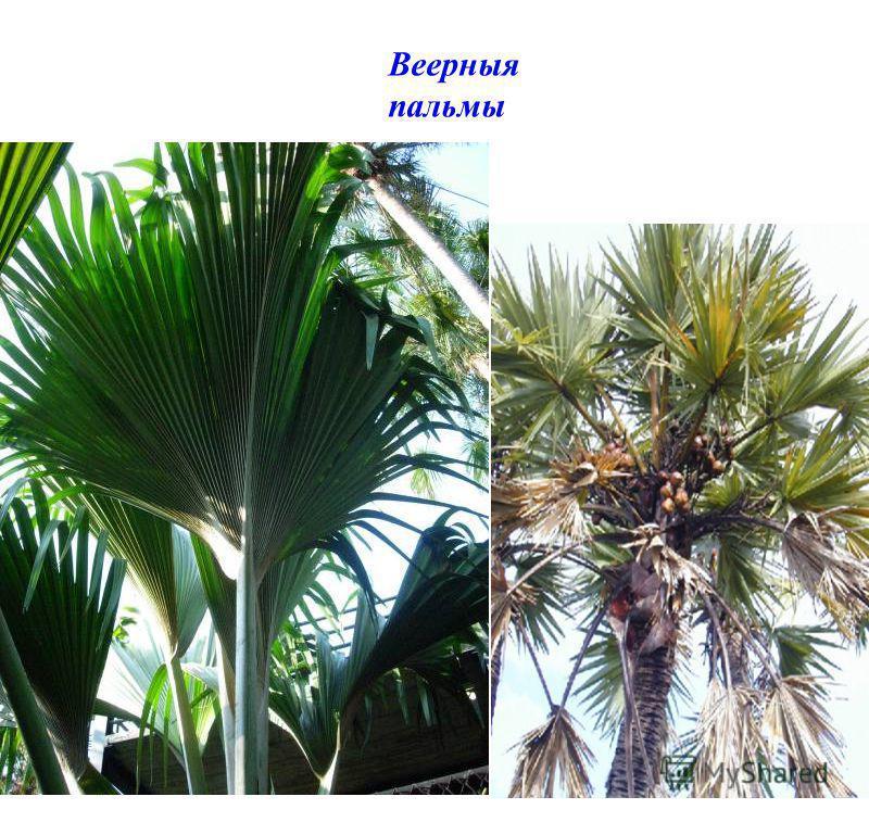 Веерныя пальмы