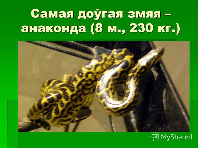 Самая доўгая змяя – анаконда (8 м., 230 кг.)