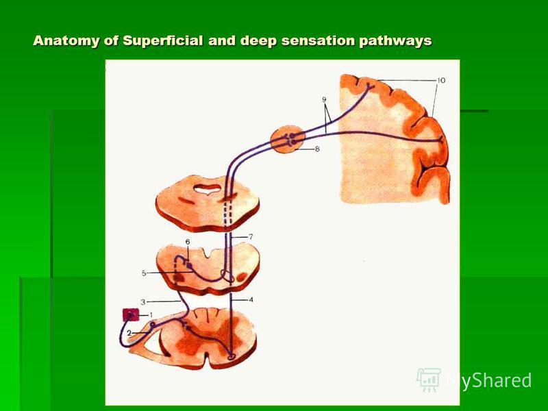 Anatomy of Superficial and deep sensation pathways