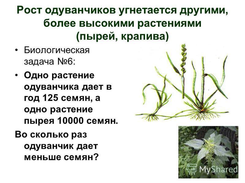 Рост одуванчиков угнетается другими, более высокими растениями (пырей, крапива) Биологическая задача 6: Одно растение одуванчика дает в год 125 семян, а одно растение пырея 10000 семян. Во сколько раз одуванчик дает меньше семян?