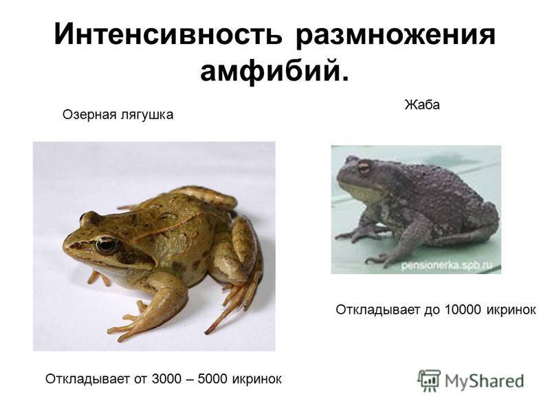 Интенсивность размножения амфибий. Озерная лягушка Жаба Откладывает от 3000 – 5000 икринок Откладывает до 10000 икринок