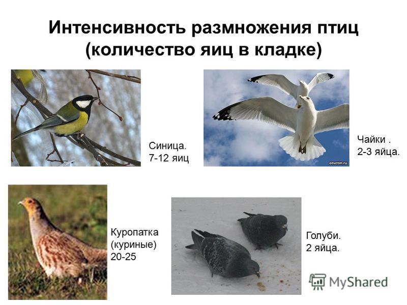 Интенсивность размножения птиц (количество яиц в кладке) Синица. 7-12 яиц Куропатка (куриные) 20-25 Чайки. 2-3 яйца. Голуби. 2 яйца.