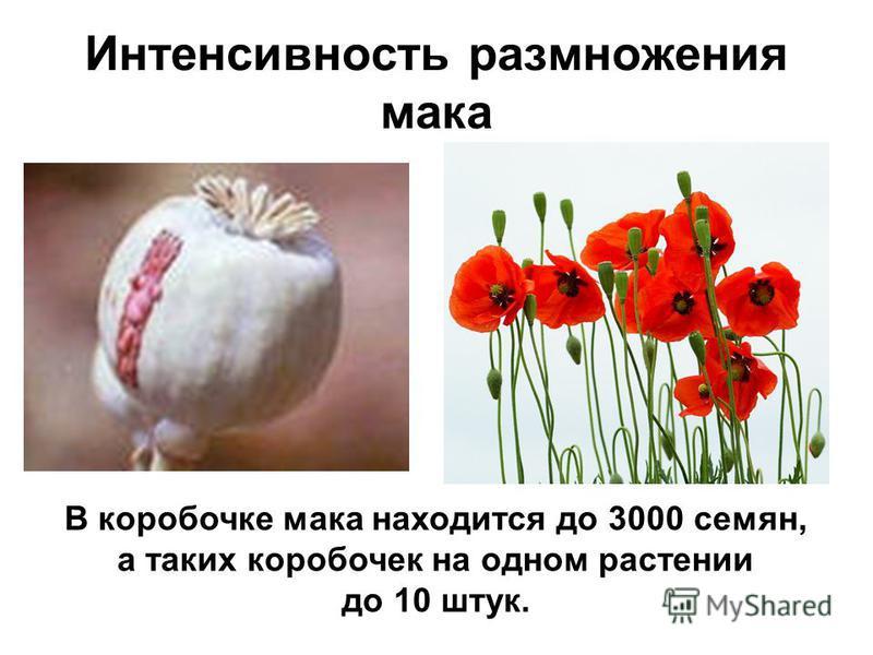 Интенсивность размножения мака В коробочке мака находится до 3000 семян, а таких коробочек на одном растении до 10 штук.