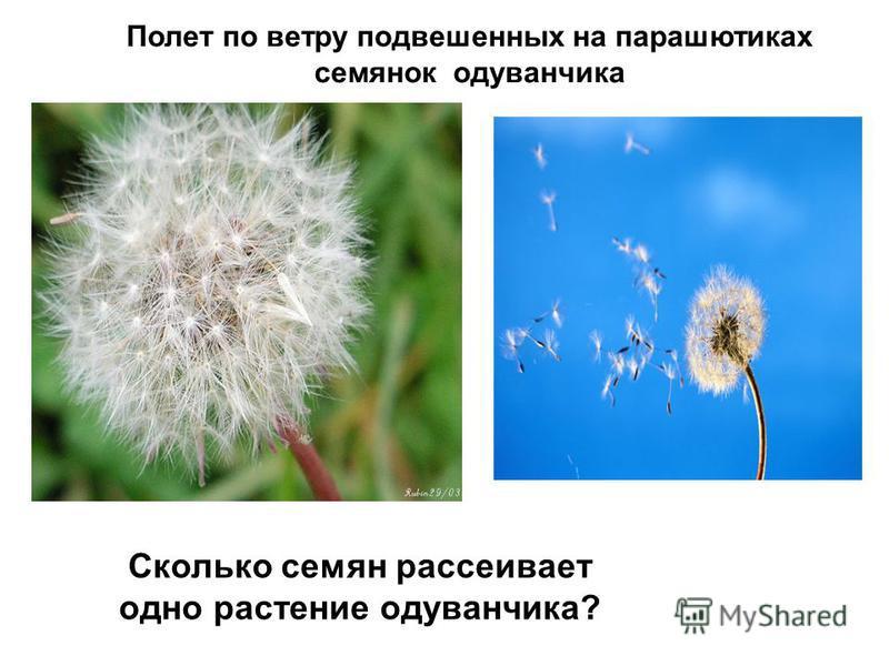 Полет по ветру подвешенных на парашютиках семянок одуванчика Сколько семян рассеивает одно растение одуванчика?