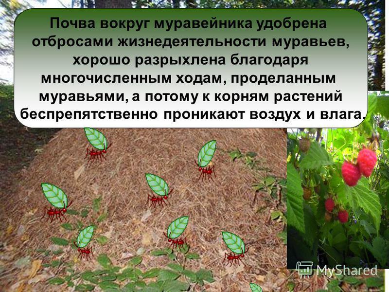 Почему ягоды калины и малины, растущей около муравейника, больше, слаще и вкуснее. Почва вокруг муравейника удобрена отбросами жизнедеятельности муравьев, хорошо разрыхлена благодаря многочисленным ходам, проделанным муравьями, а потому к корням раст