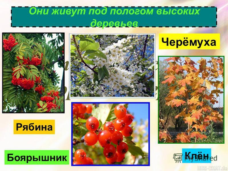 Второй я рус – низкорослые деревья Они живут под пологом высоких деревьев Боярышник Черёмуха Рябина Клён