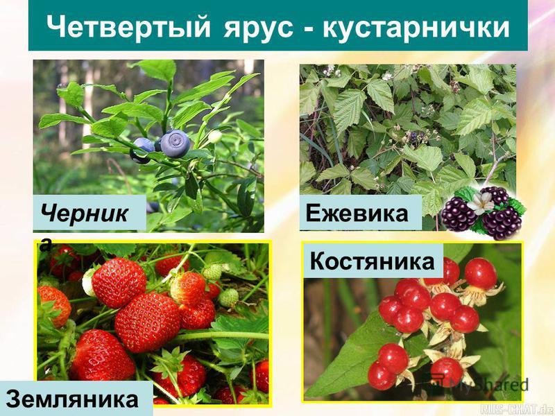 Четвертый ярус - кустарнички Черник а Ежевика Земляника Костяника