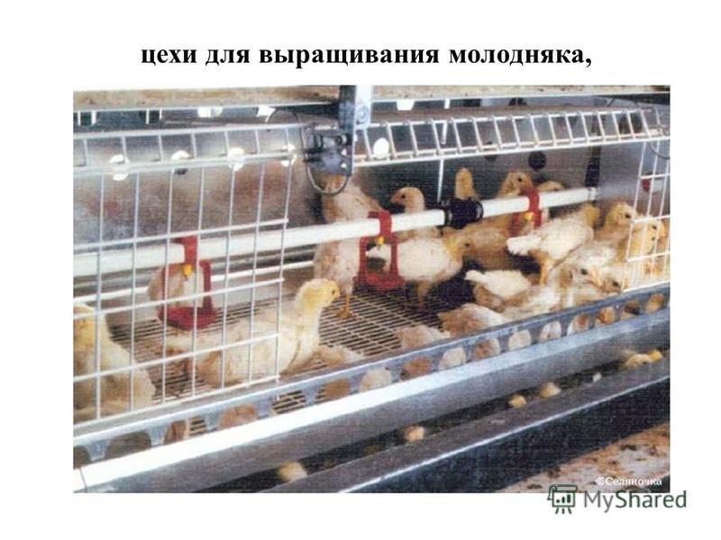 сложенном спрессованном цех ремонтного молодняку уток российском… Узнать Тельняшка