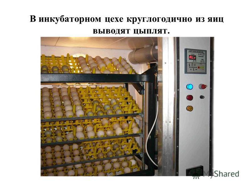 В инкубаторном цехе круглогодично из яиц выводят цыплят.